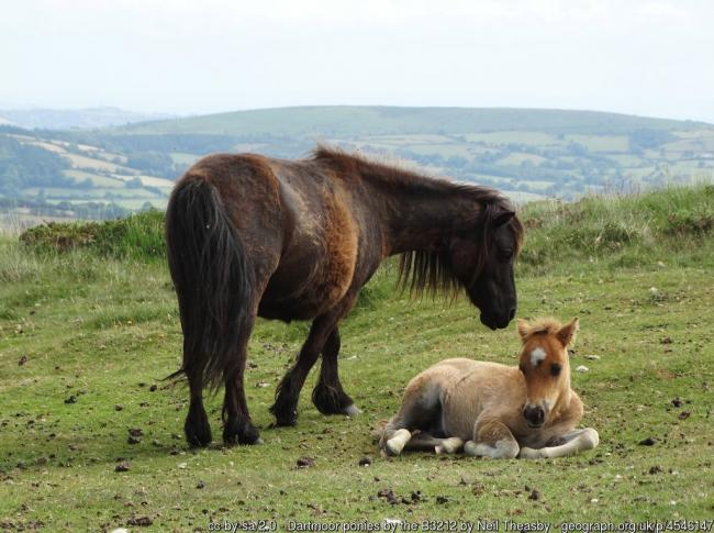Dumped grass cuttings are putting the health of moorland ponies at risk