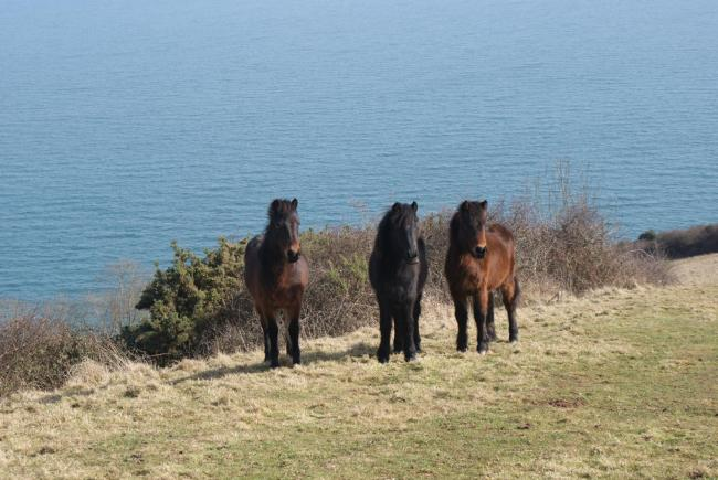 The Dartmoor ponies are grazing on the Devon coast. Image: Andy Hay, RSPB