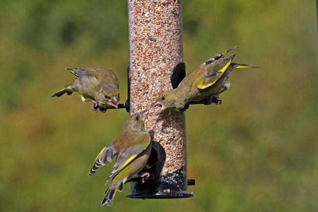Greenfinches are among the birds which visit bird feeders