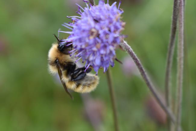 Great yellow bumblebee (Bombus distinguendus). Photo: Izzy Bunting